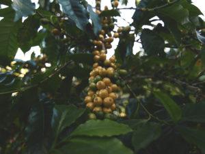 proveedor-cafe-mexico-saber-grano-calidad